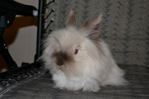 Our Lionhead Rabbit, stole the hearts of everyone in our house!