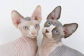 2 Hairless Sphynx Cats