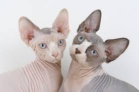 2 Hairless Sphynx Cats